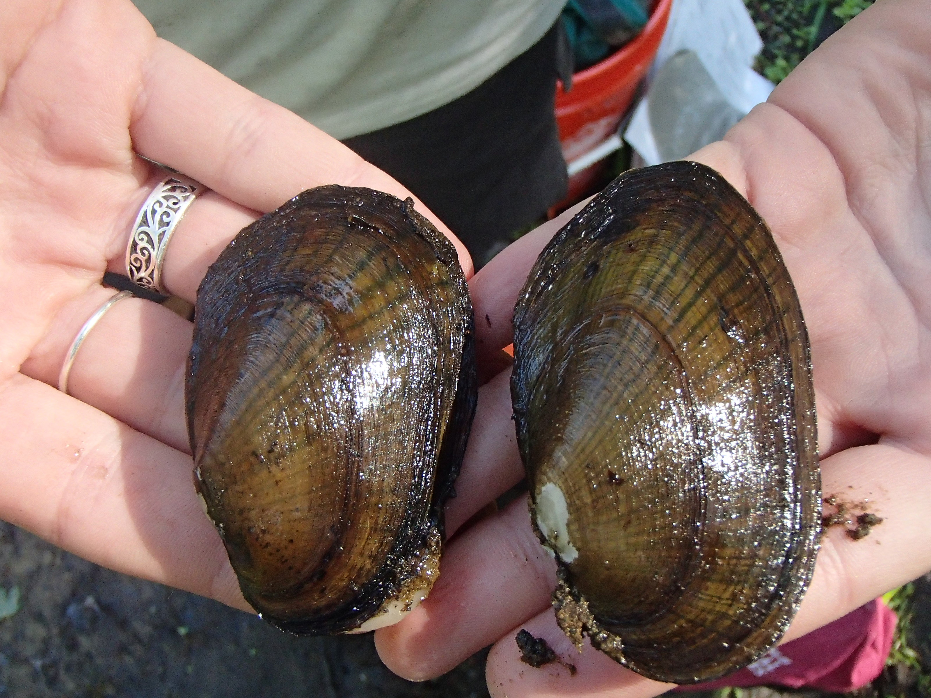 Eastern pondmussel, a species of special concern in MA
