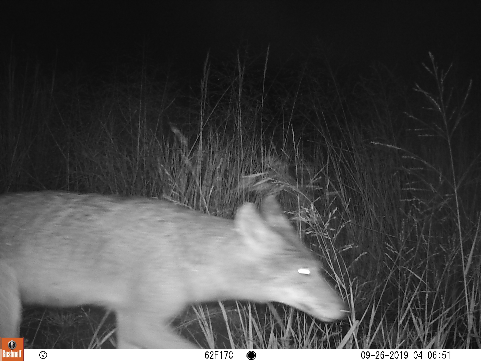 A coyote spotted on a game camera at an Urban prairie in Northwest Arkansas.