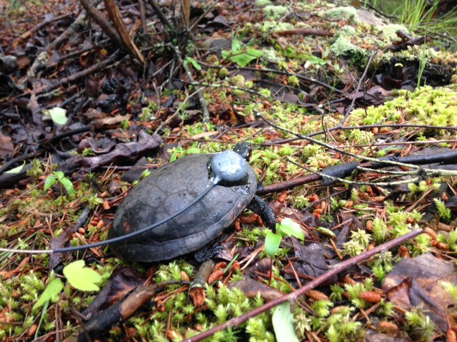 A spotted turtle with a transmitter will inform scientists about how turtles move across landscapes and move between wetlands