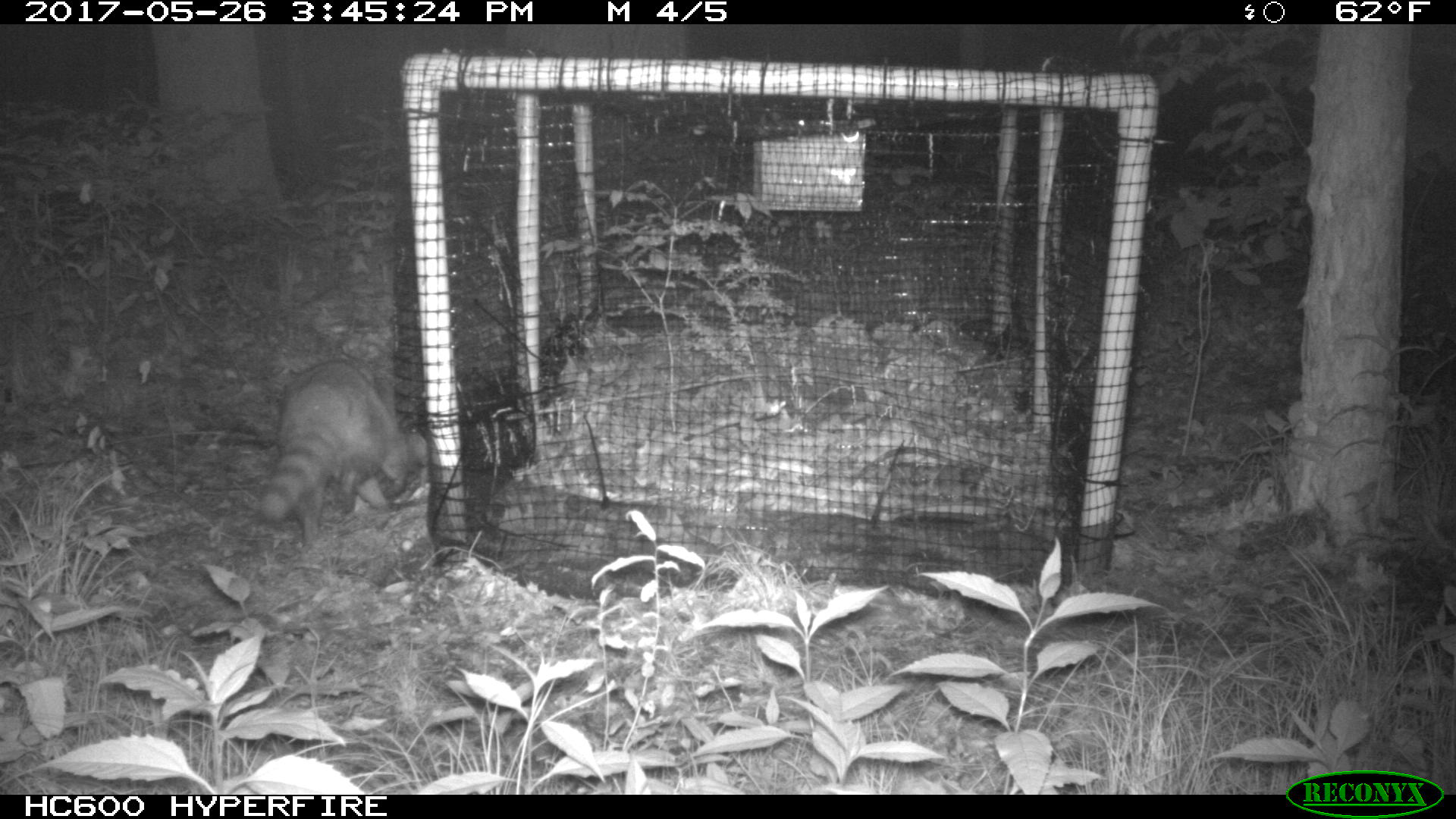 A raccoon stalks a soft release pen filled with Eastern Box Turtles