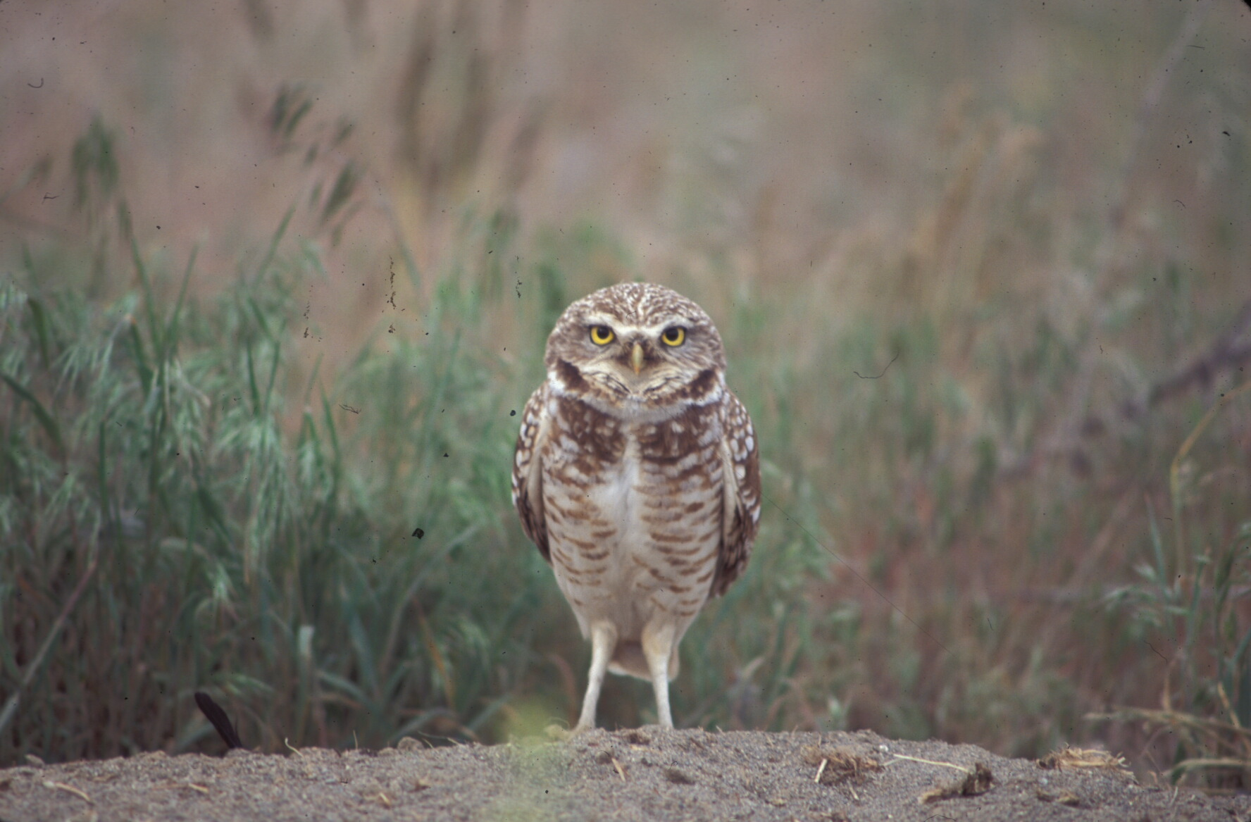 Burrowing owls have declined in many portions of their range and scientists are not sure of the cause of these declines.  Current research projects are designed to identify the cause of owl population declines.