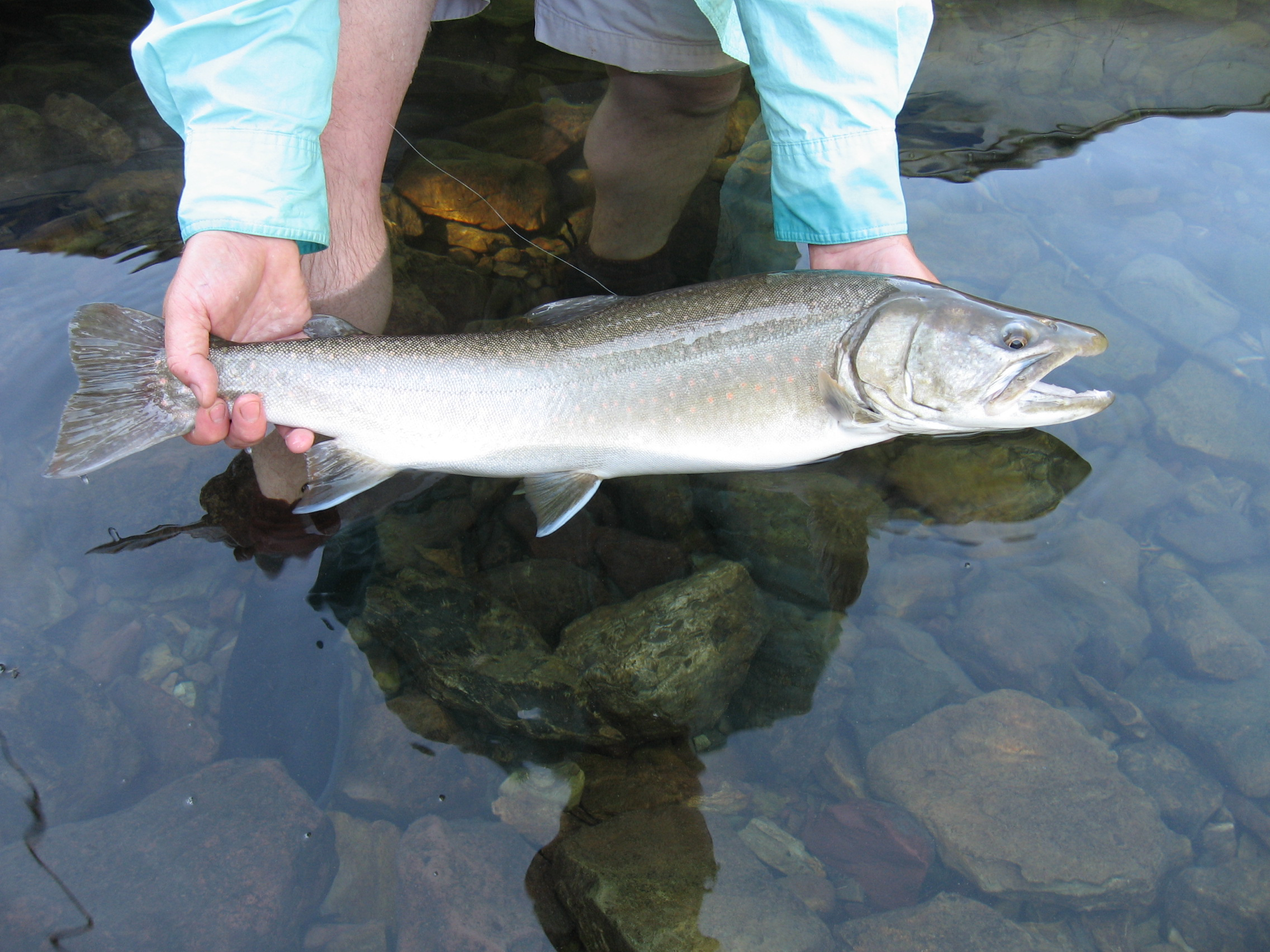 Bull trout, Glacier National Park