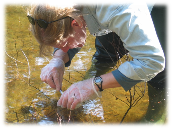 Cyndy Loftin collecting wood frog embryos in a vernal pool.<br />