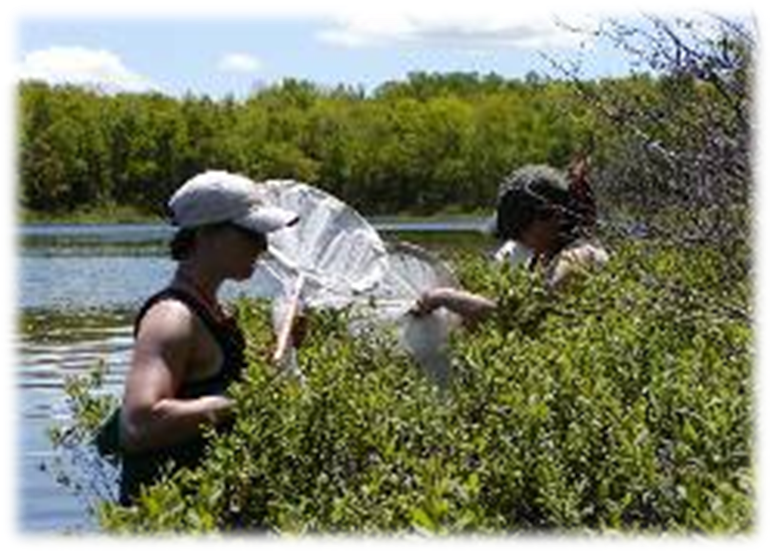 removing insects from sweep nets at a Downeast Maine fishless lake.<br />