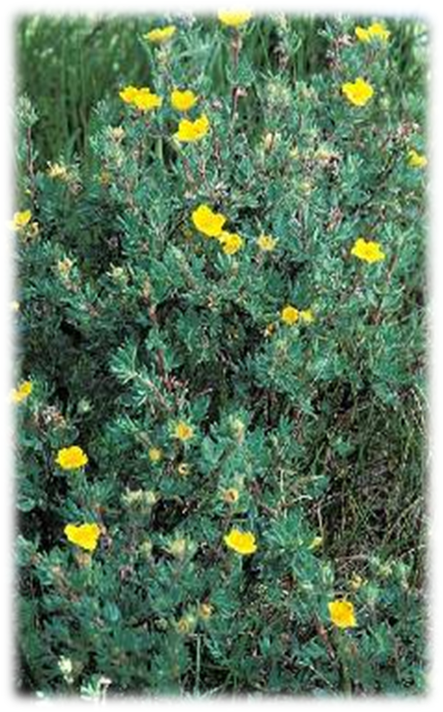 Right: shrubbby cinquefoil in bloom in Maine wetland.<br />