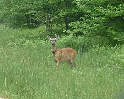White-tailed deer with radiocollar