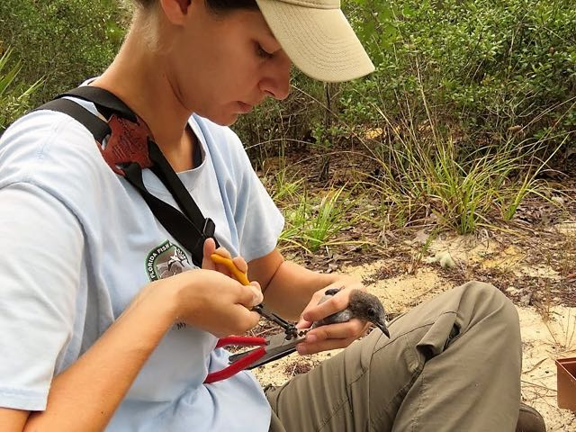 Alexis Cardas bands a Florida Scrub Jay in Ocala National Forest