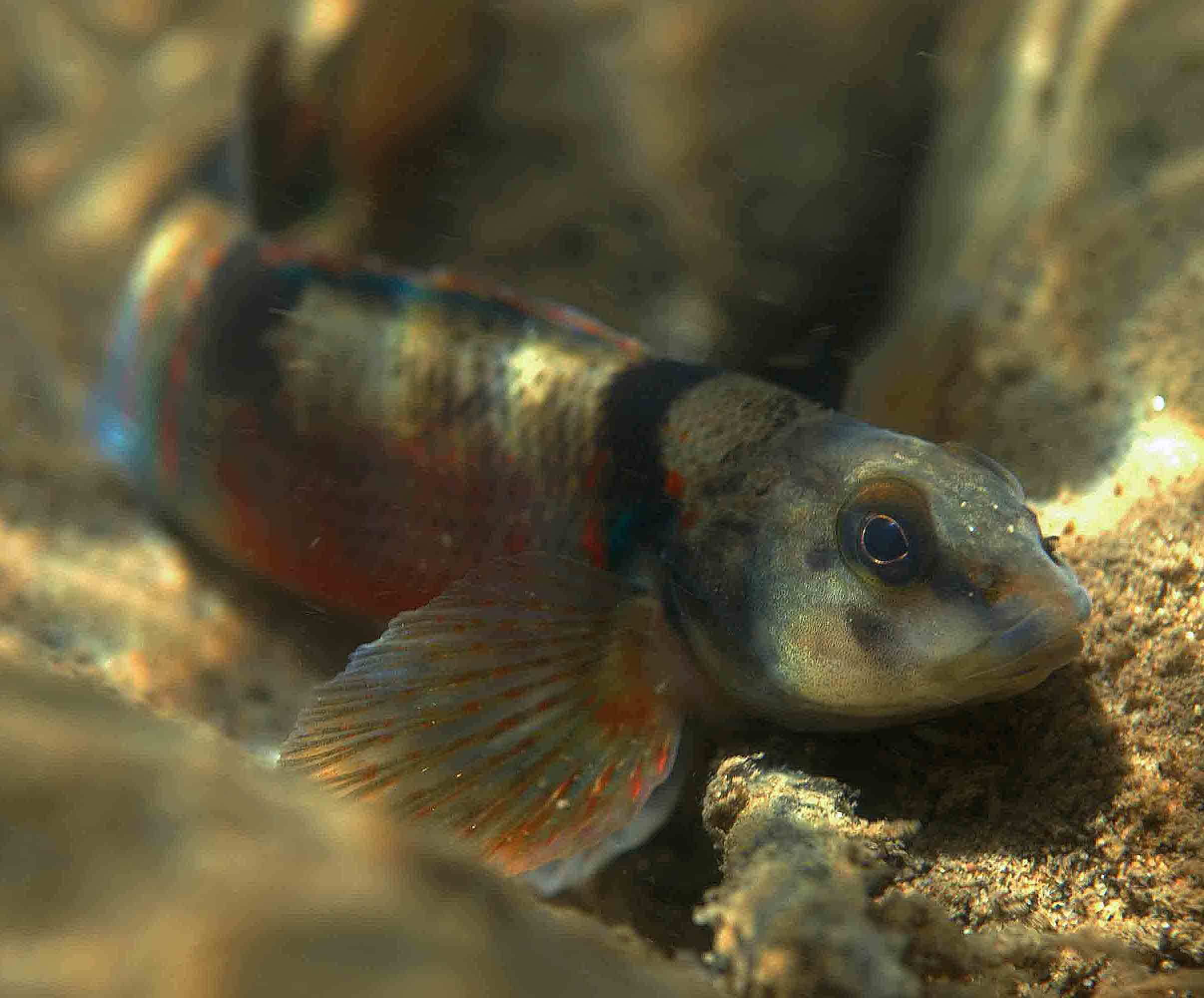 Variegate darter (Etheostoma variatum)n Levisa Fork, Virginia