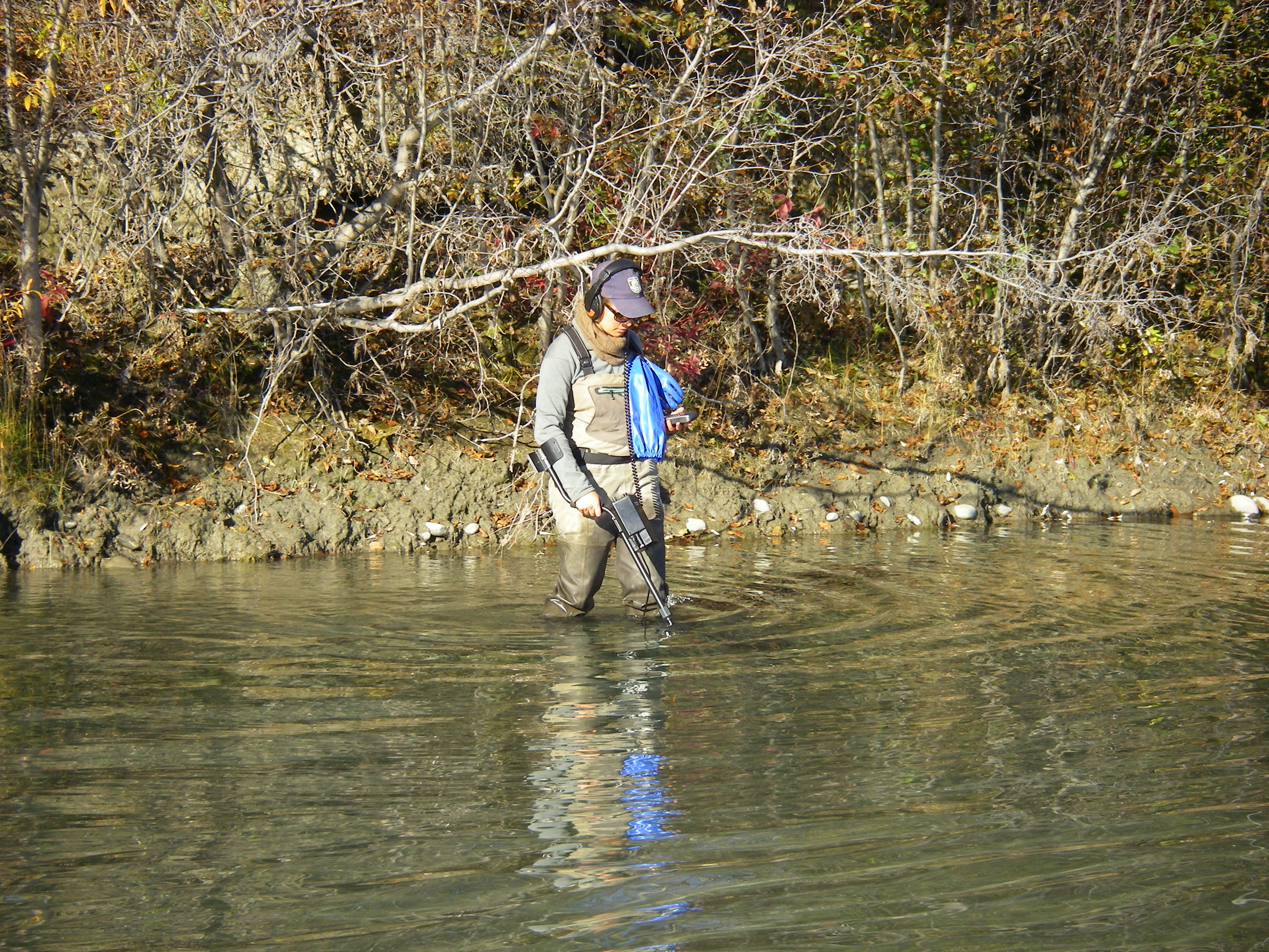 Chelsea Clawson uses an underwater metal detector to locate stream temperature loggers in the T'eedriinjik River, Alaska