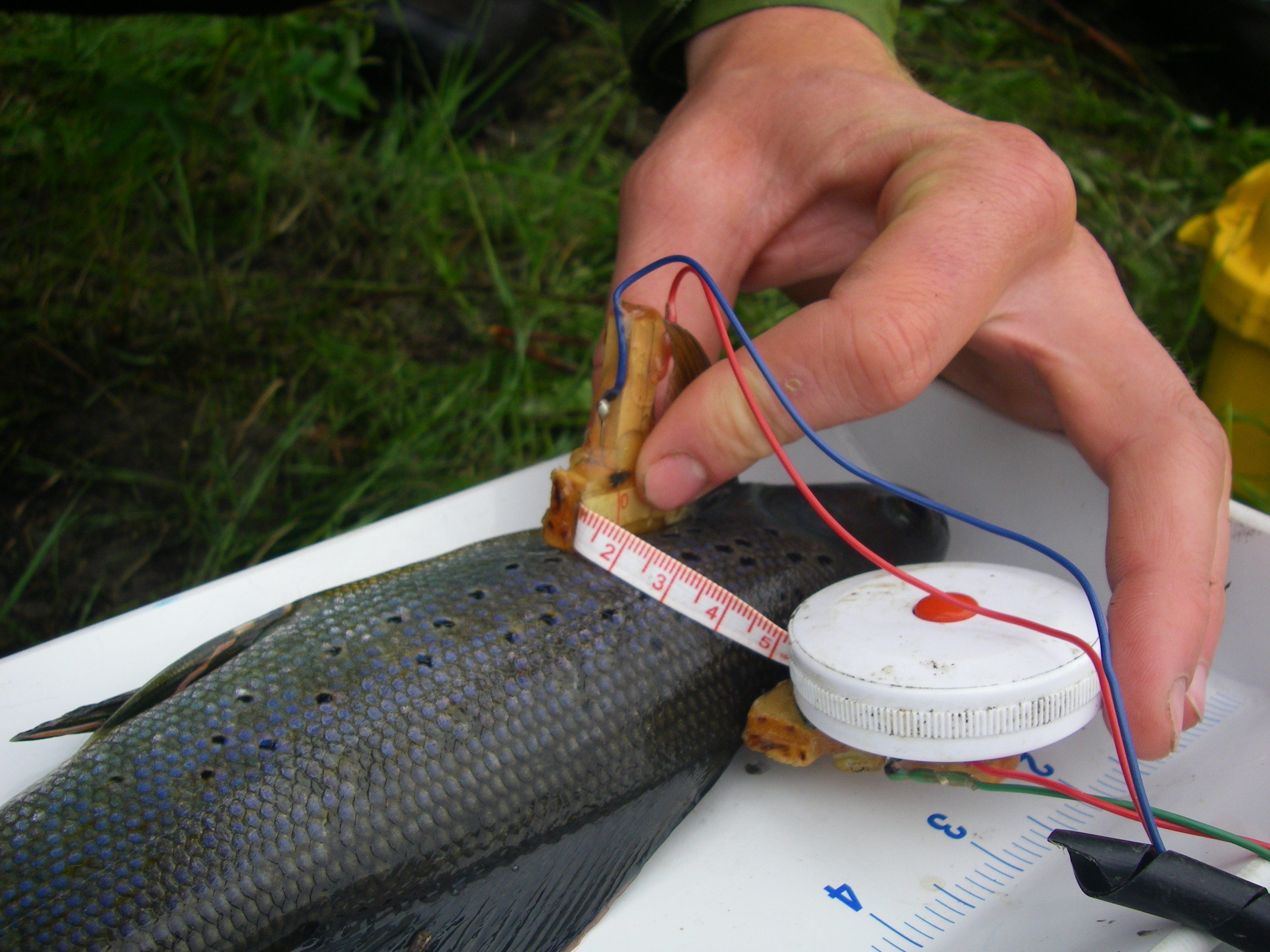 Electrical measurements are taken on an Arctic grayling to estimate body condition
