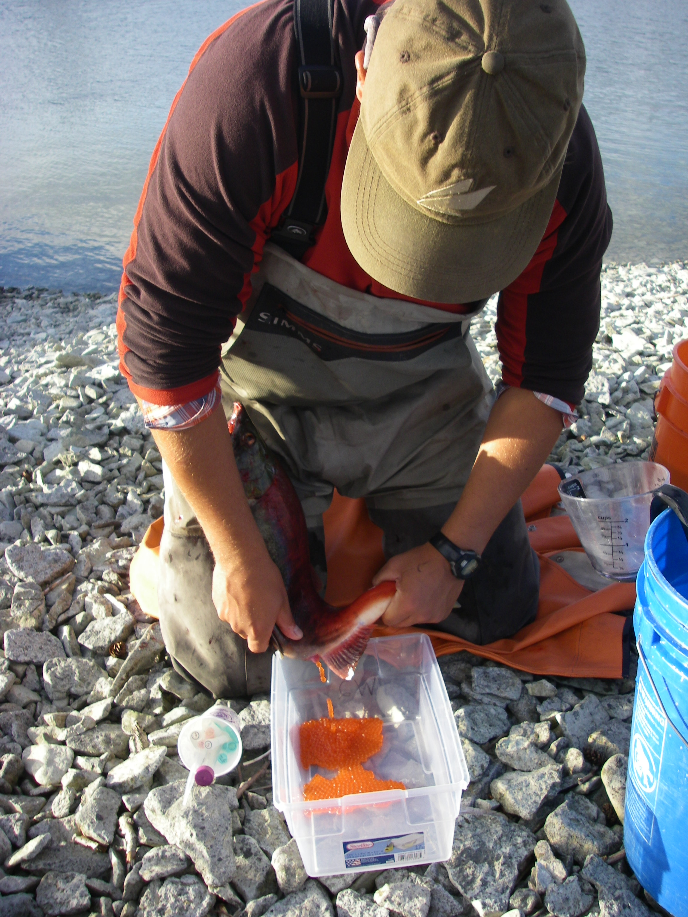 Morgan Sparks collects gametes from Iliamna Lake, Alaska sockeye salmon.
