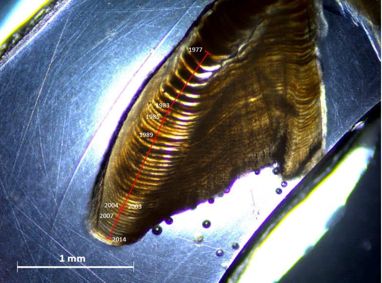 An otolith from an Arctic coastal plain lake trout with age increments
