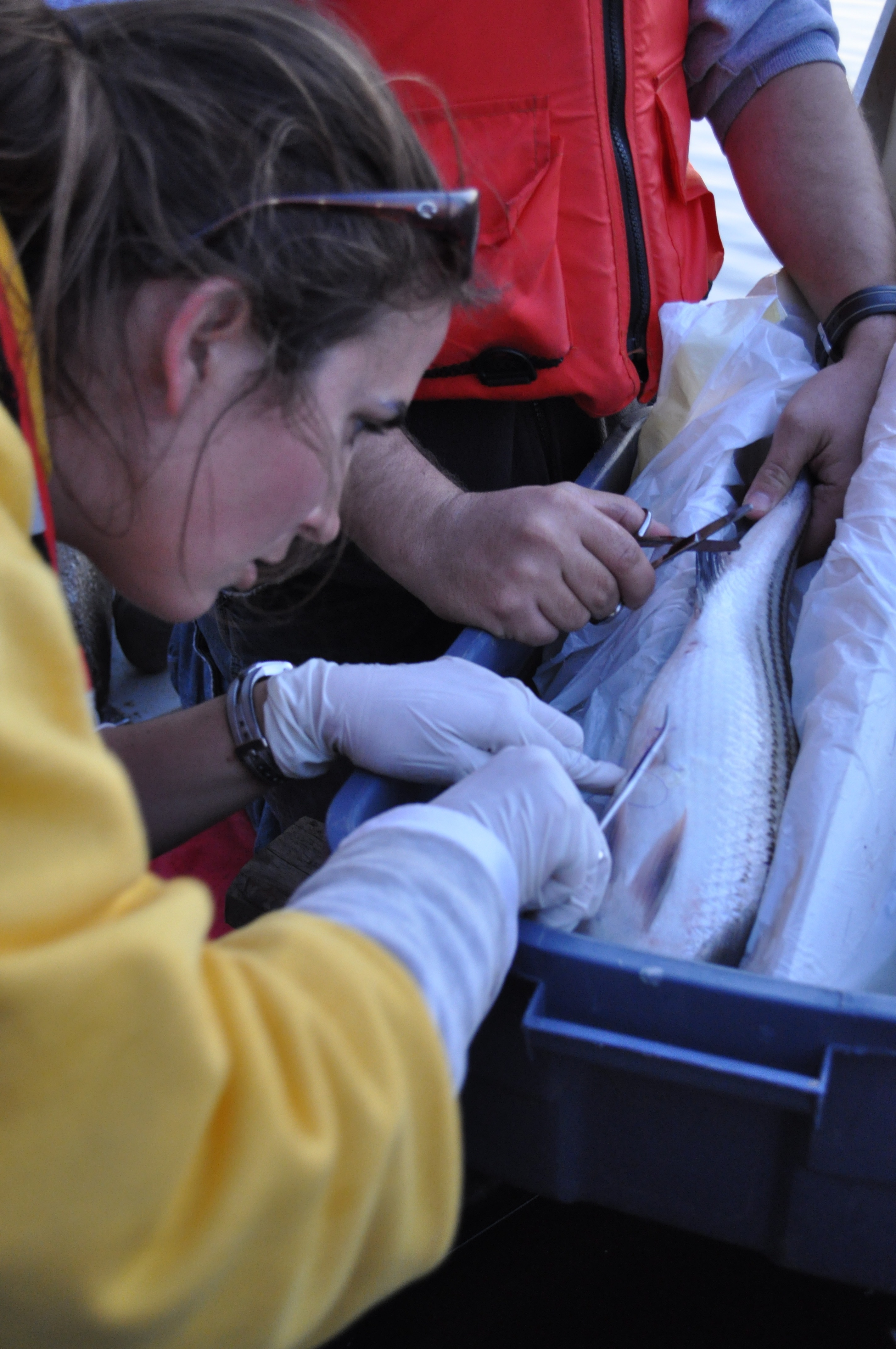 Implanting transmitter in striped bass