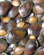 Tenessee boasts one of the world's most diverse mussel faunas