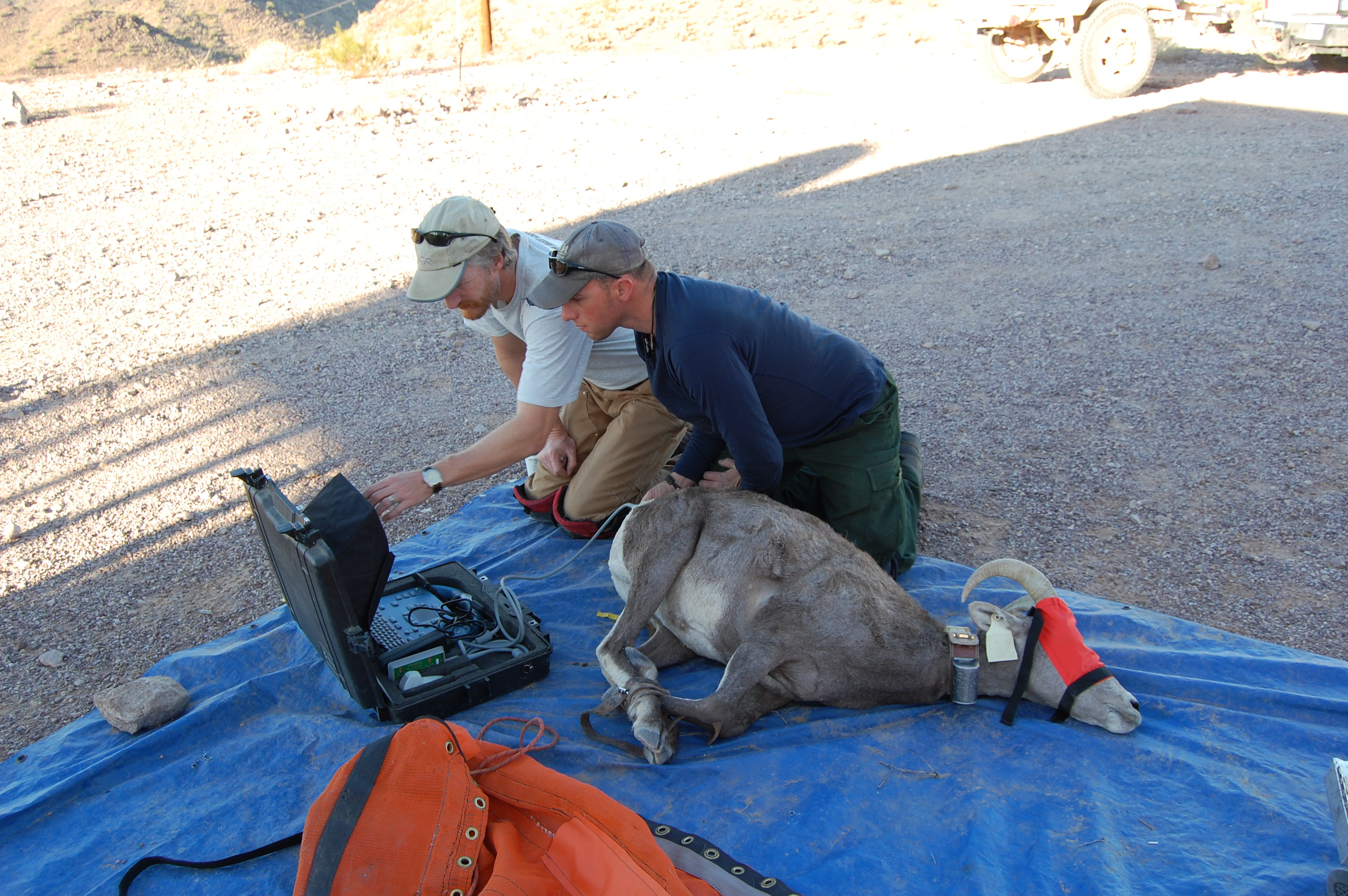 Dr. Tom Stephenson (left) and unit graduate student Matt Overstreet (right) using a portable ultrasound to measure body fat on a female desert bighorn sheep captured on the Kofa National Wildlife Refuge, Arizona.