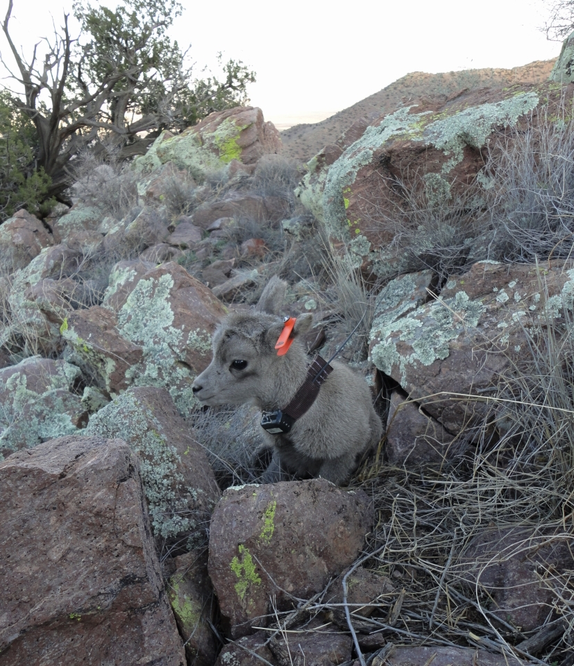 Desert bighorn lamb in Peloncillo Mountains, New Mexico