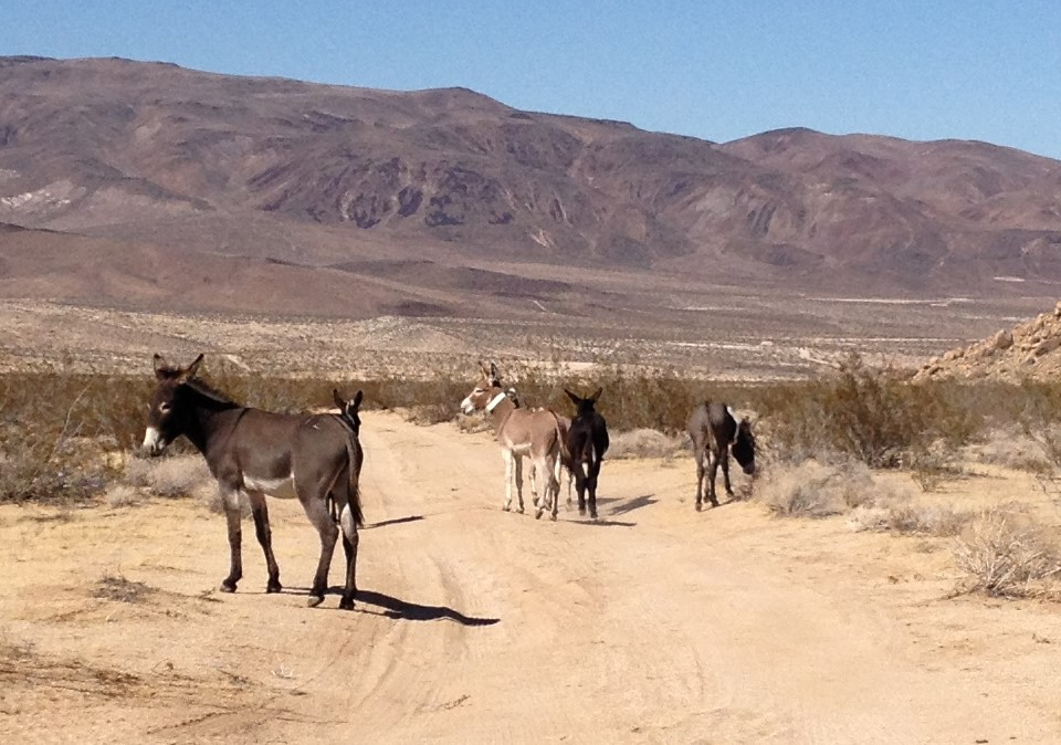 Feral burros on Fort Irwin, California