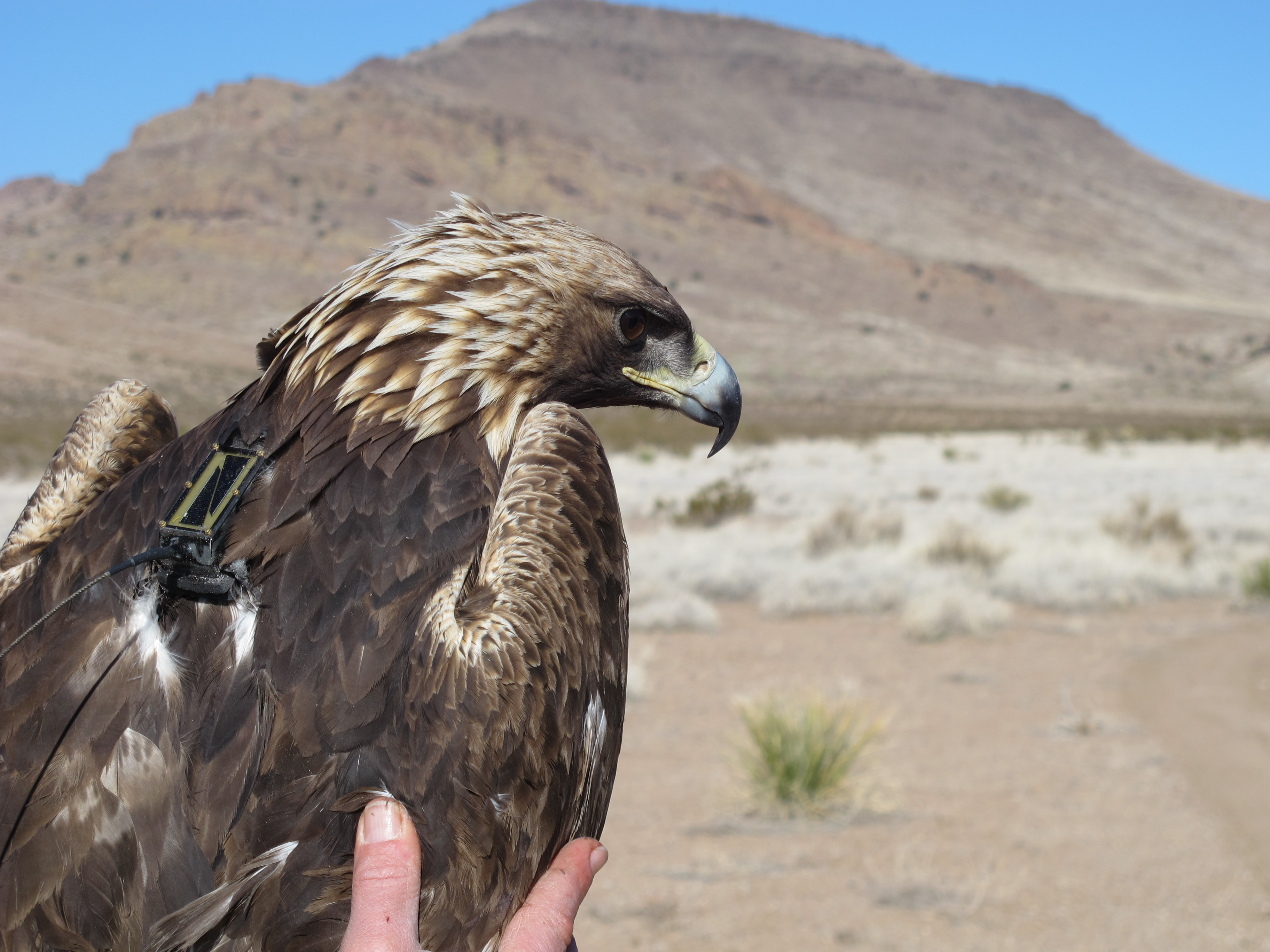 Golden eagle fitted with GPS backpack