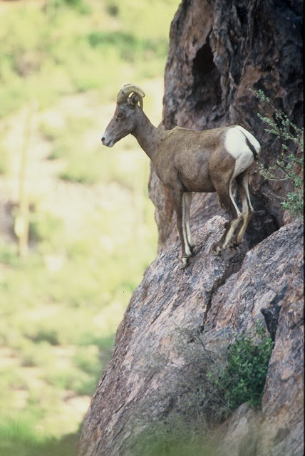 Female desert bighorn sheep