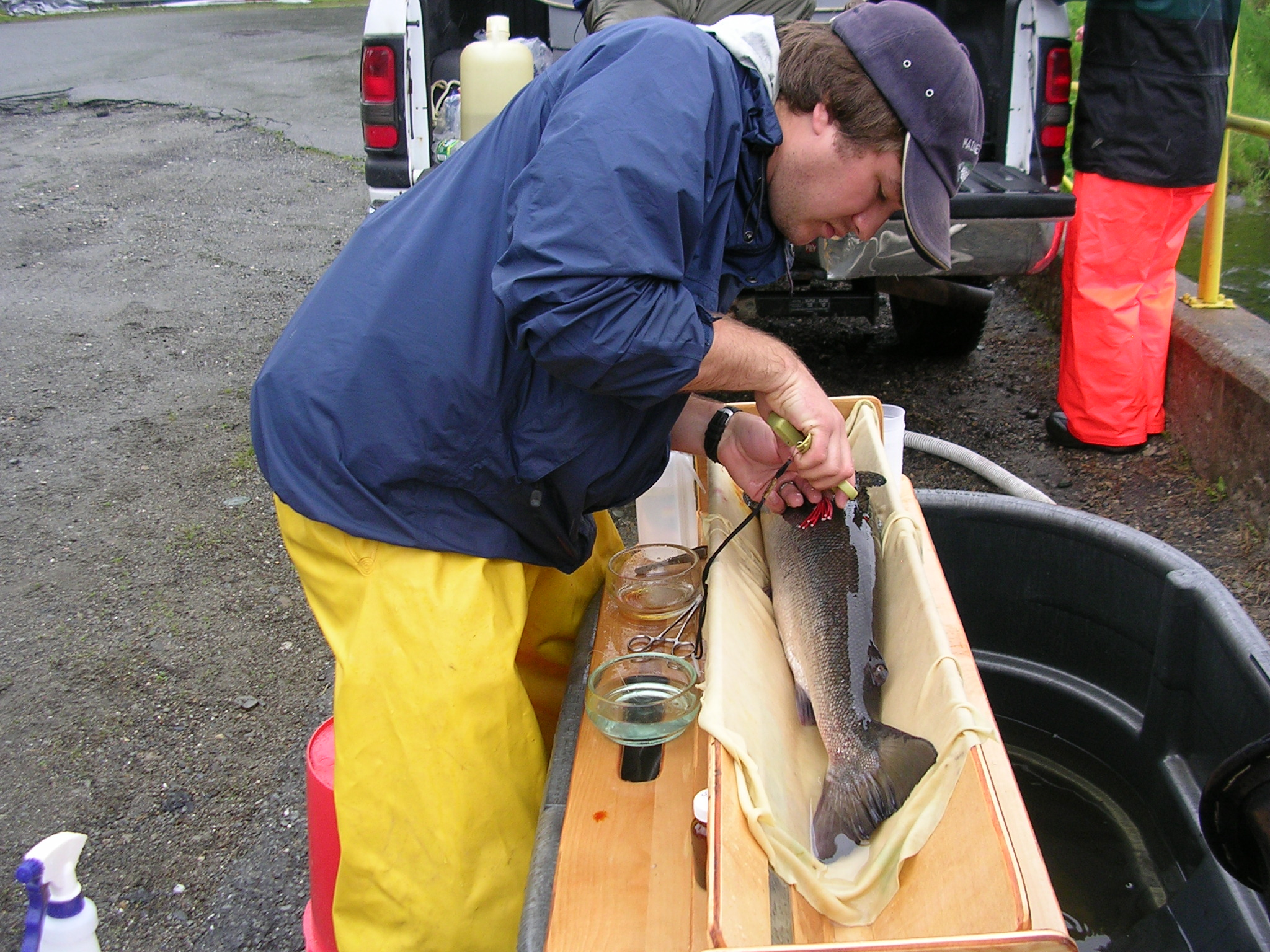 Adult Atlantic salmon tagging
