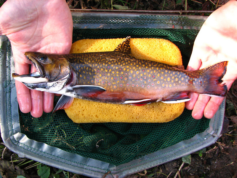 Brook trout life history