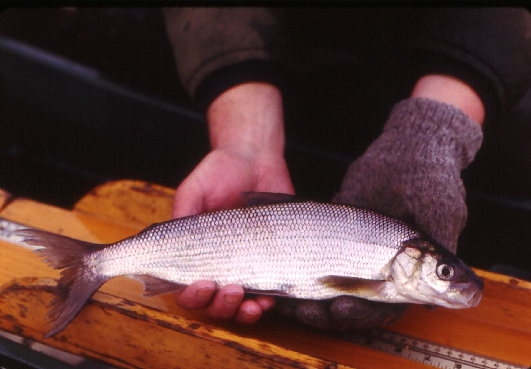 Lake whitefish in Maine