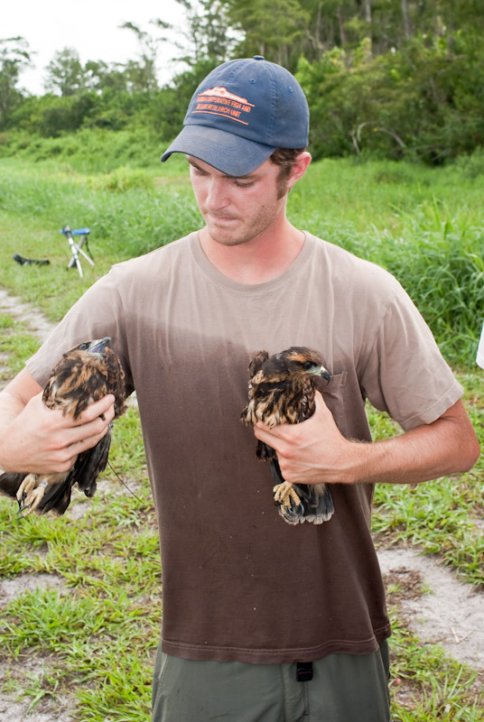 Kyle holding two recently banded snail kite nestlings at Loxahatchee NWR.