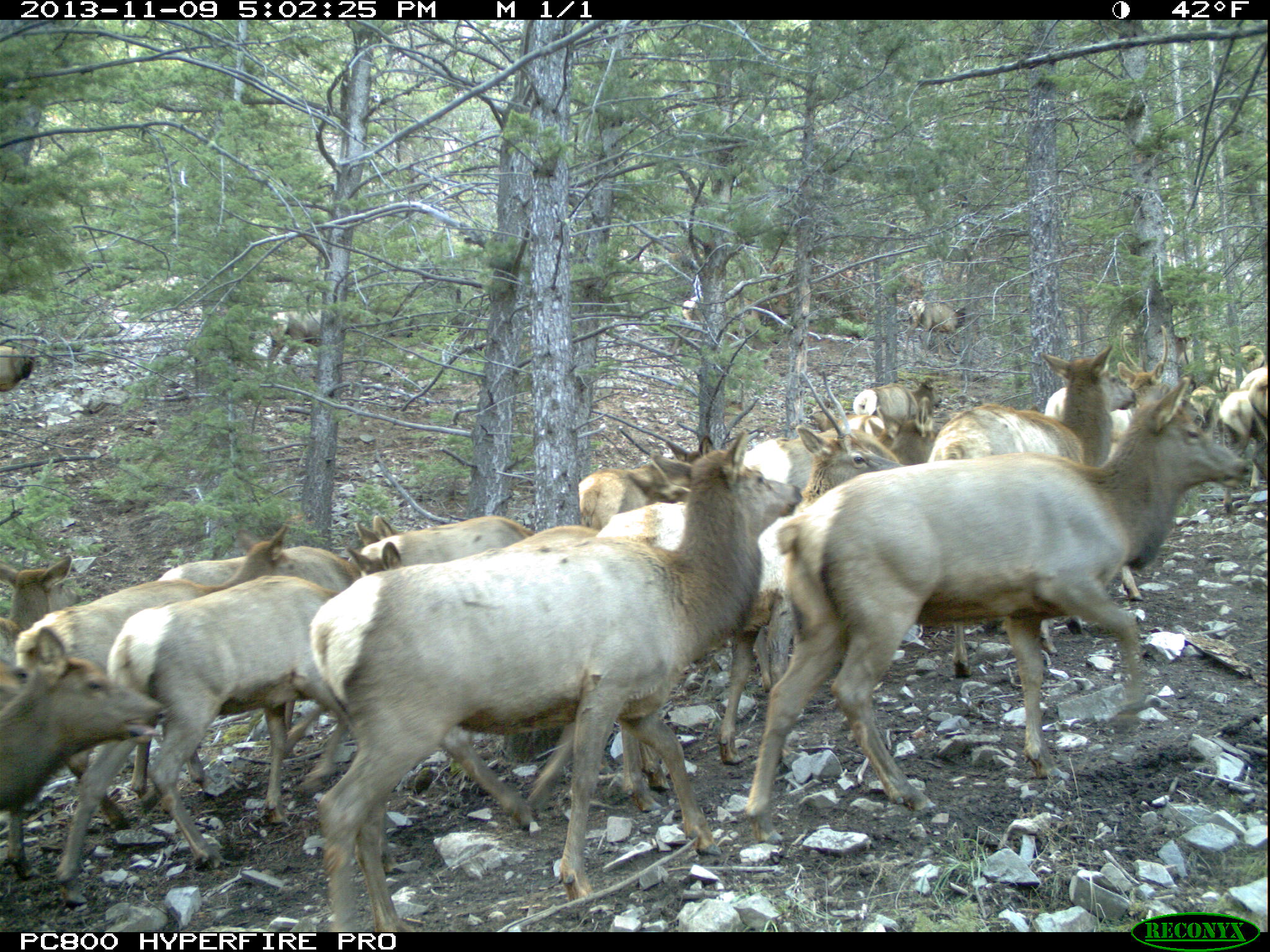 A large herd of elk pass by this camera site on their way to low elevation winter habitat near Cody, WY. Herd composition data from camera traps could offer a cost effective, and less risky alternative.
