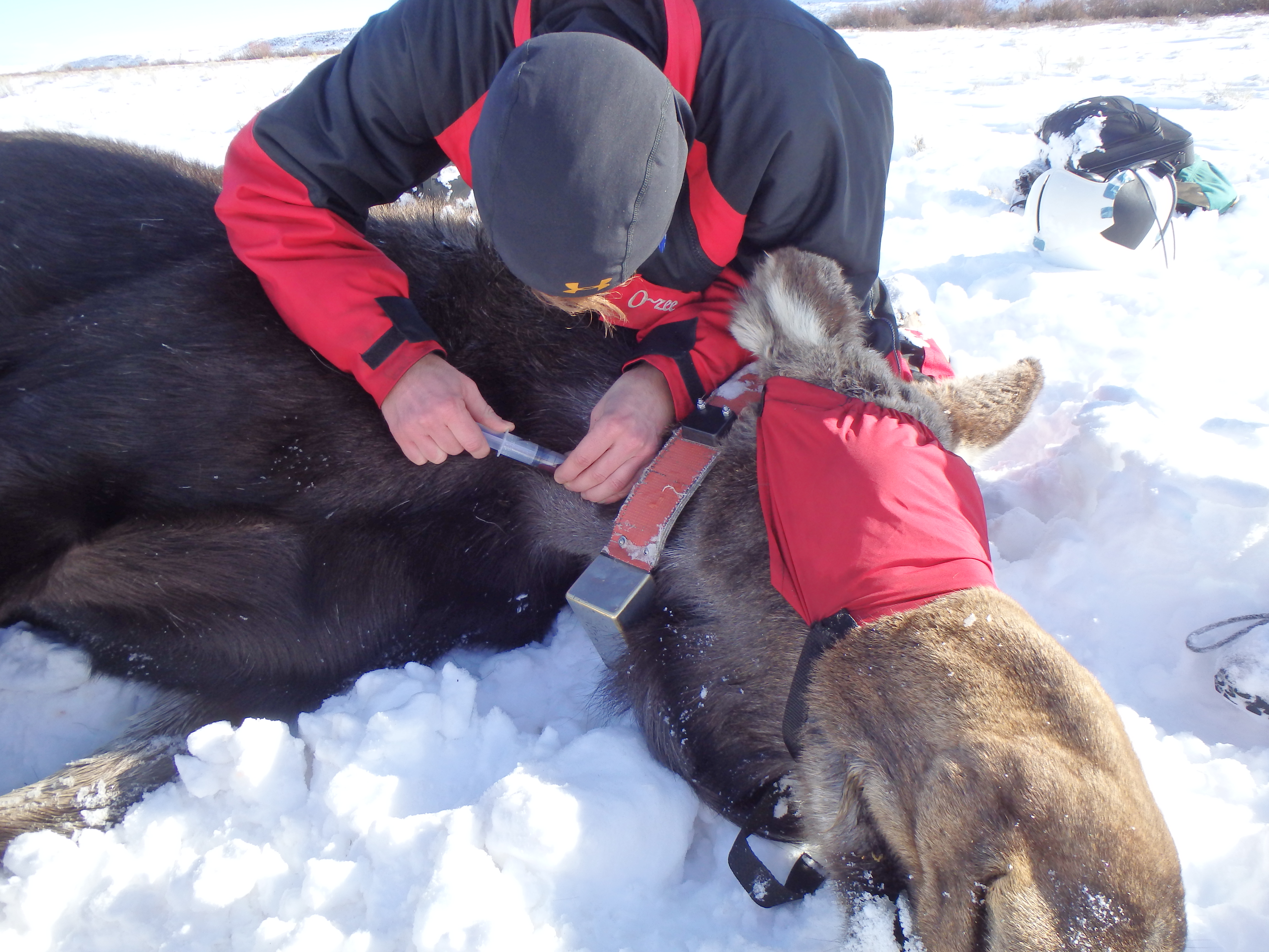 Brett Jesmer is seen here drawing blood from a live-captured moose.