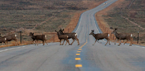 Mule Deer crossing highway