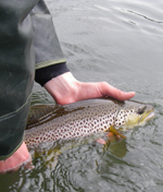A radio-tagged brown trout being released into the South Fork of the Holston River