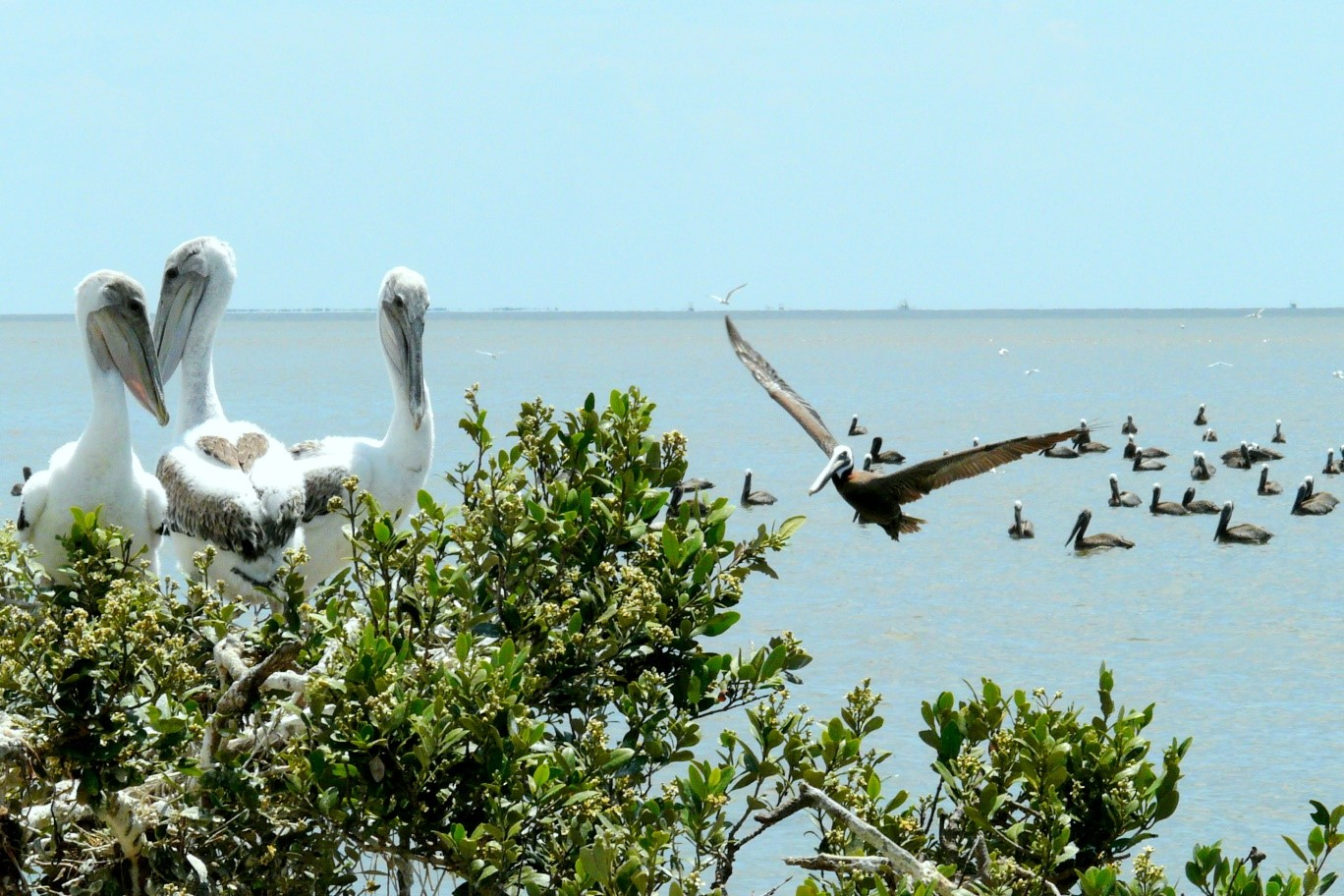 An Eastern brown pelican returns to its nest on Raccoon Island, Louisiana.