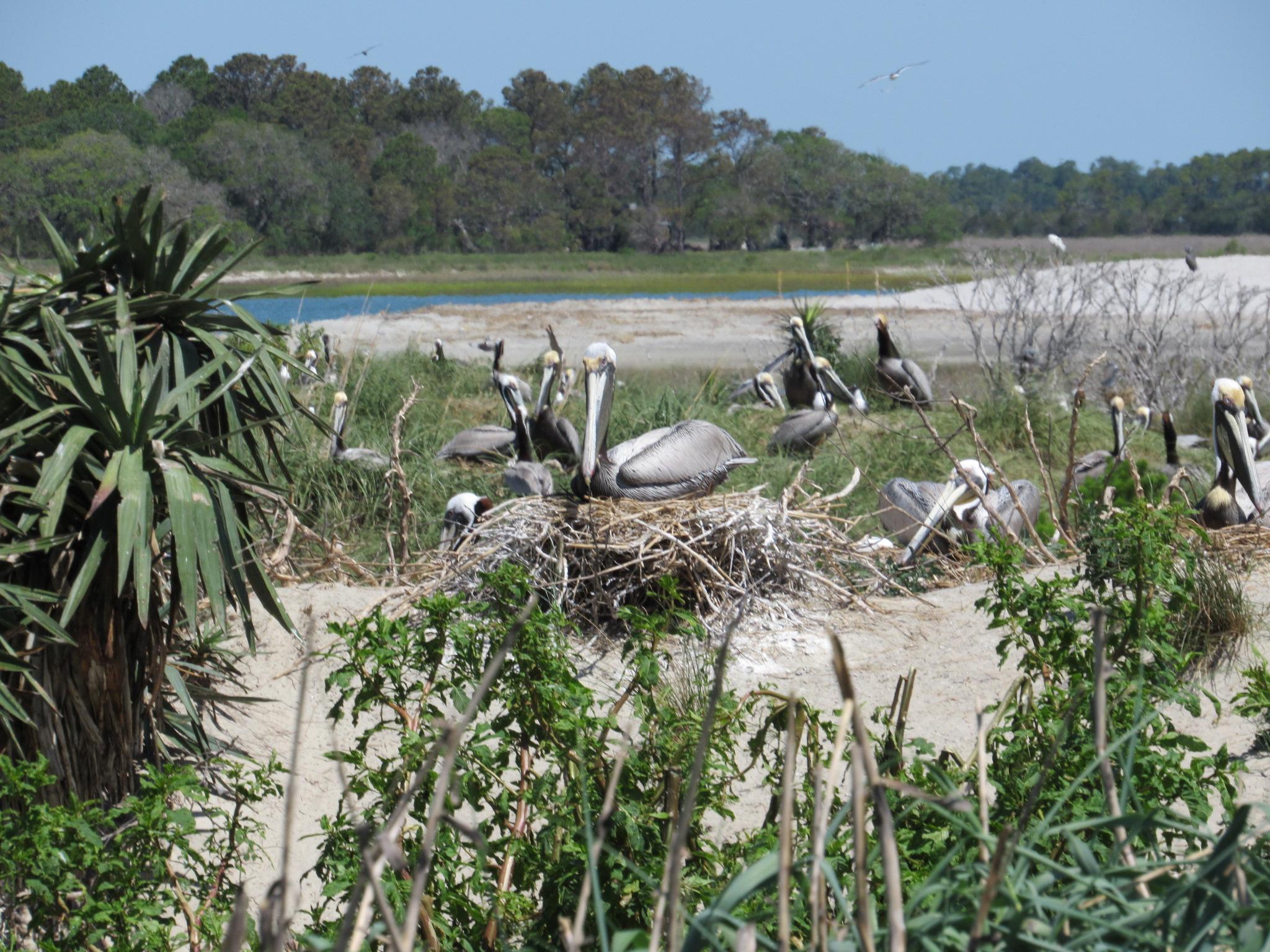 Brown Pelican nest, Bird Key, SC