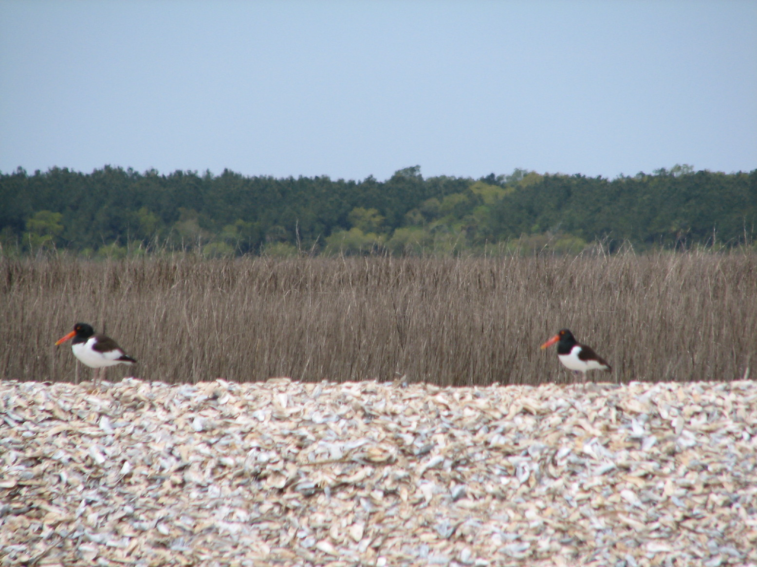 Oystercatchers nesting on shell rake in Cape Romain NWR, SC