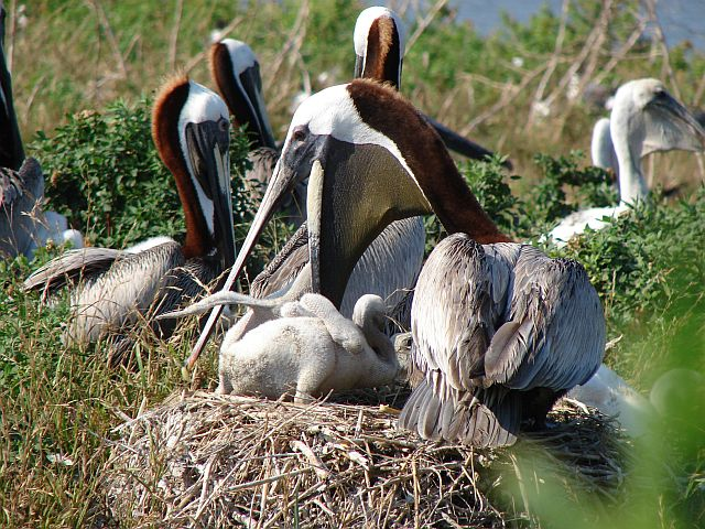 Brown Pelican attending nest, Crab Bank, SC