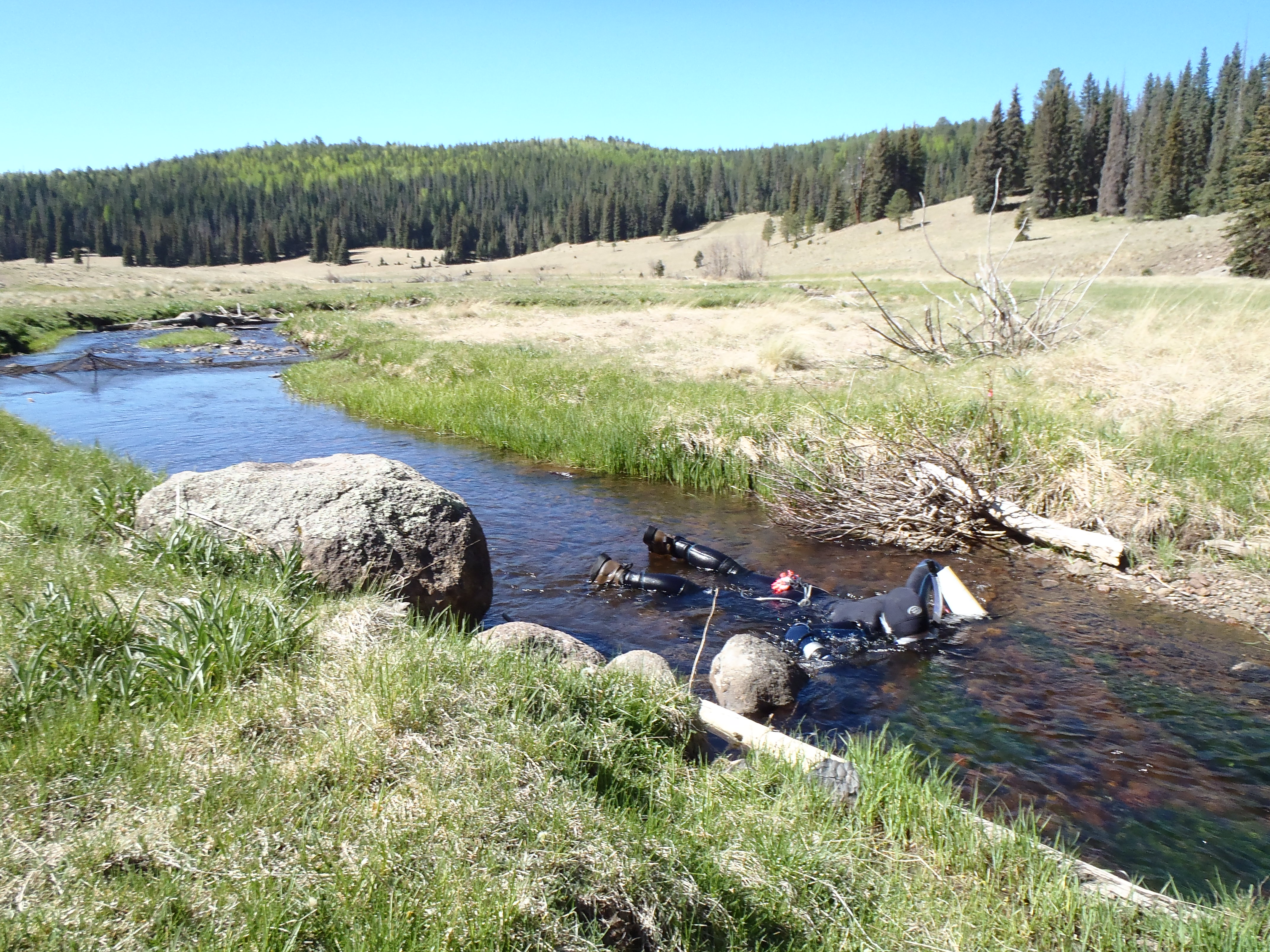 Arizona Coop Unit snorkeling in an Arizona mountain stream to enumerate Apache Trout.
