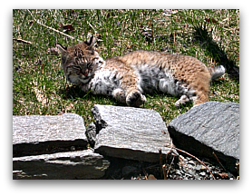 Bobcat sunning after eating a red squirrel in a backyard in central Massachusetts (2).
