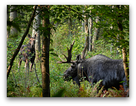 Bull moose with GPS collar and cow moose in wetland in Massachusetts.