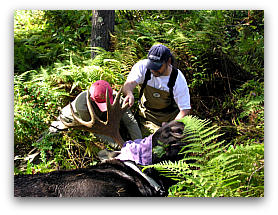 Dave Wattles and Steve DeStefano placing GPS collar on bull moose