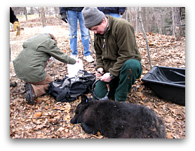 MassWildlife's Dave Fuller preparing to attach a GPS collar to a young black bear.