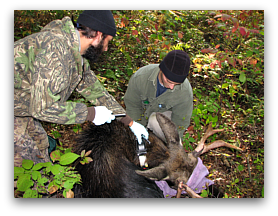 Dave Wattles (PhD candidate) and Ken Berger (Field Tech) place a GPS collar on a bull moose.