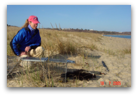 Luanne Johnson (PhD candidate) releases a collared striped skunk in coastal habitat on the island of Martha's Vineyard.