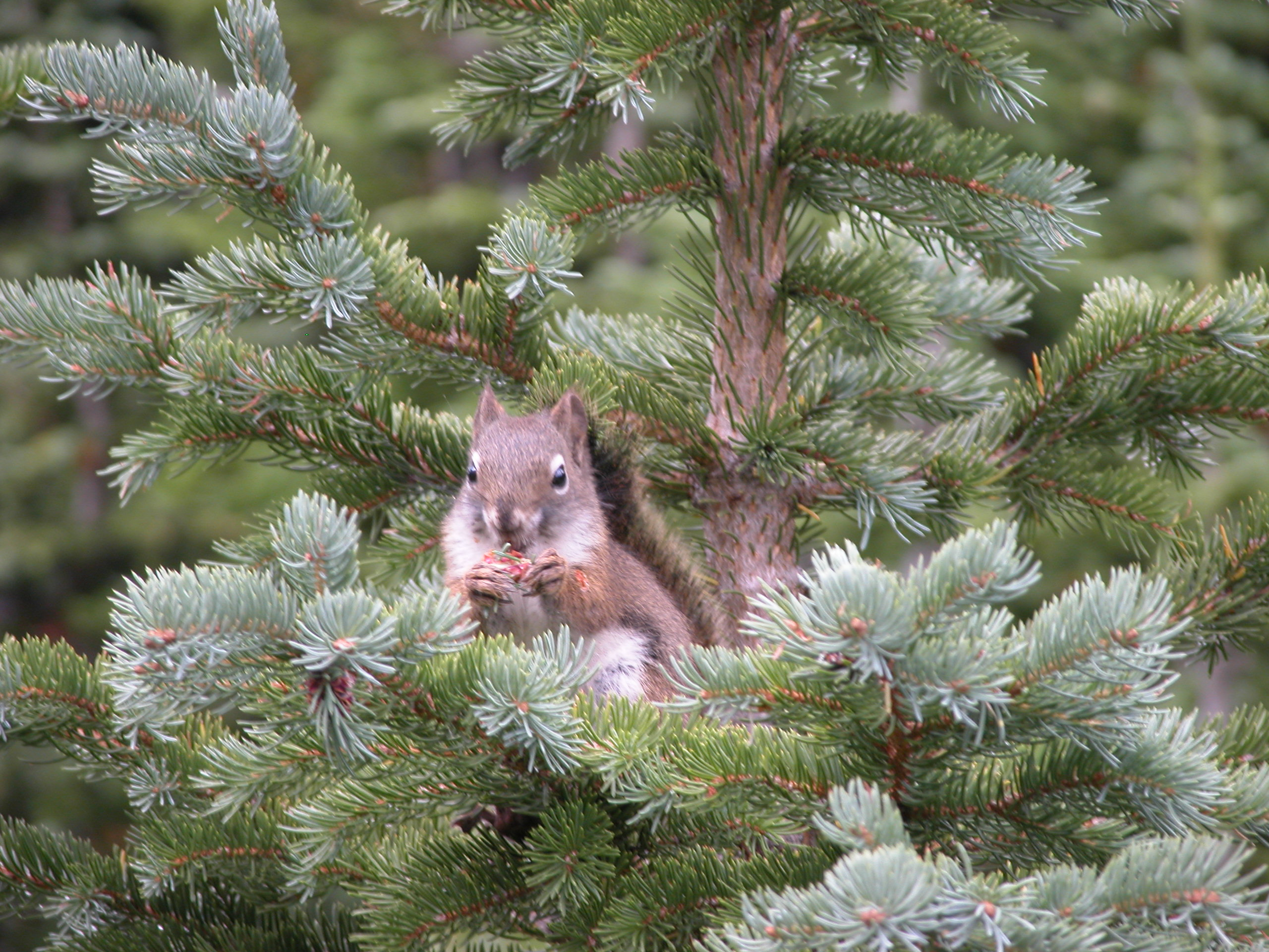 Red squirrel eating spruce pollen cone