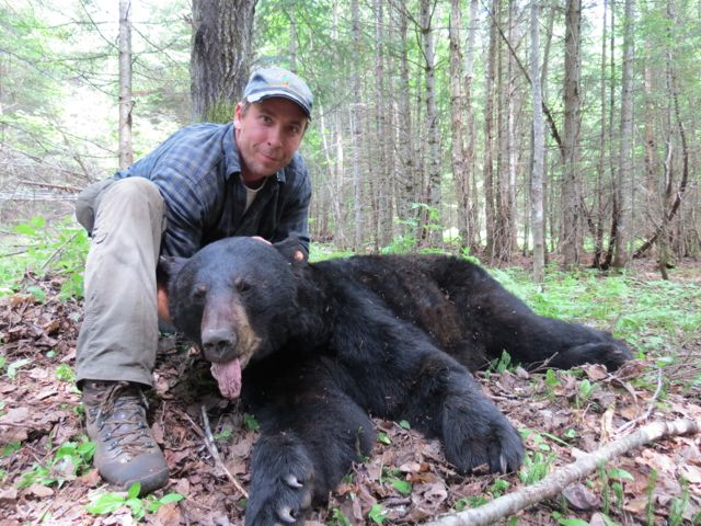Twenty-two year old male Maine black bear
