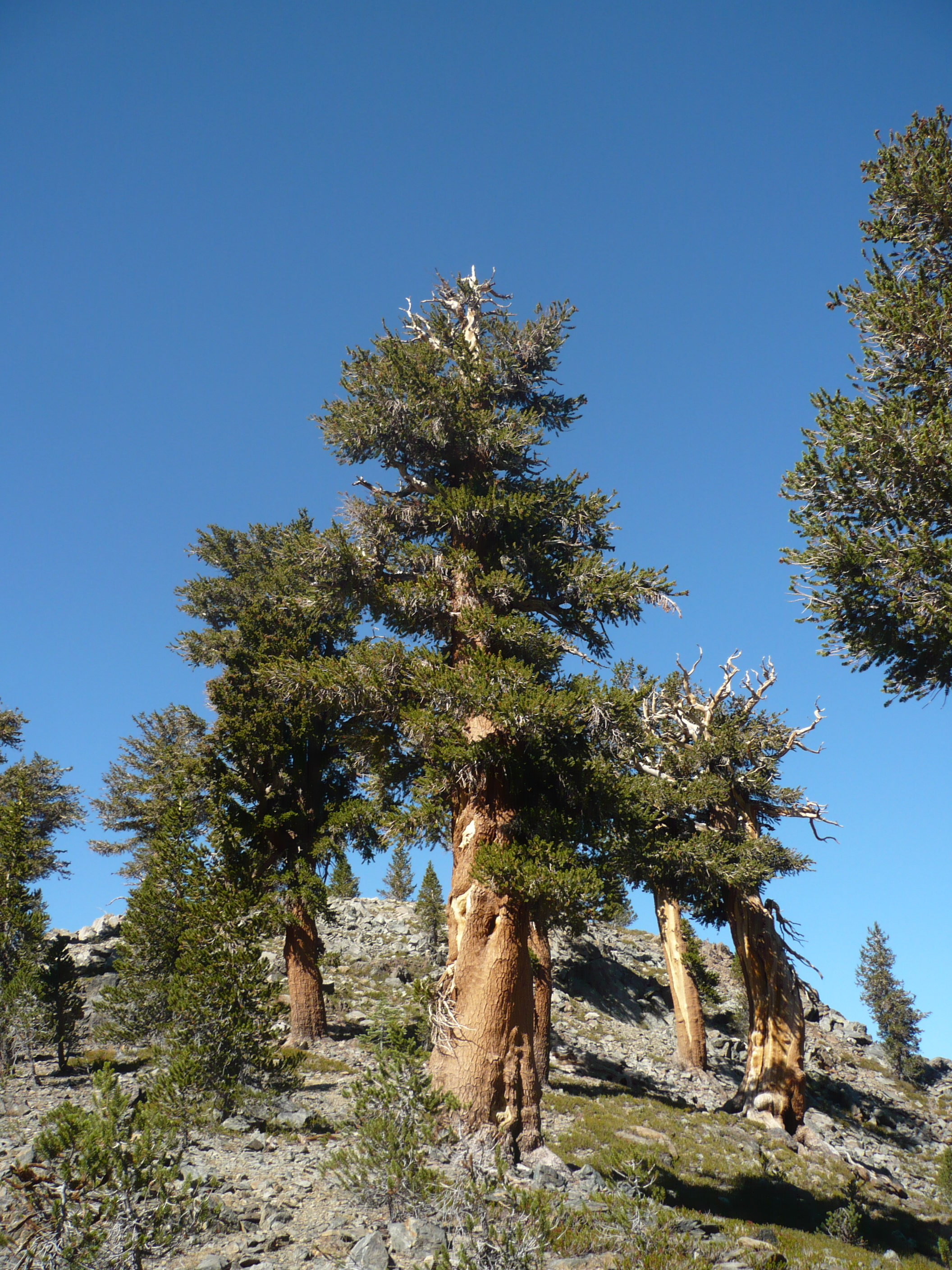 Foxtail pine at tree-line in the Sierra Nevada