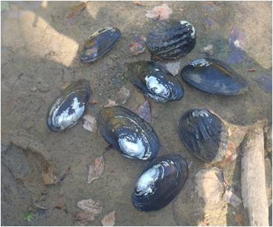 Mussel species on the Muddy Boggy River.