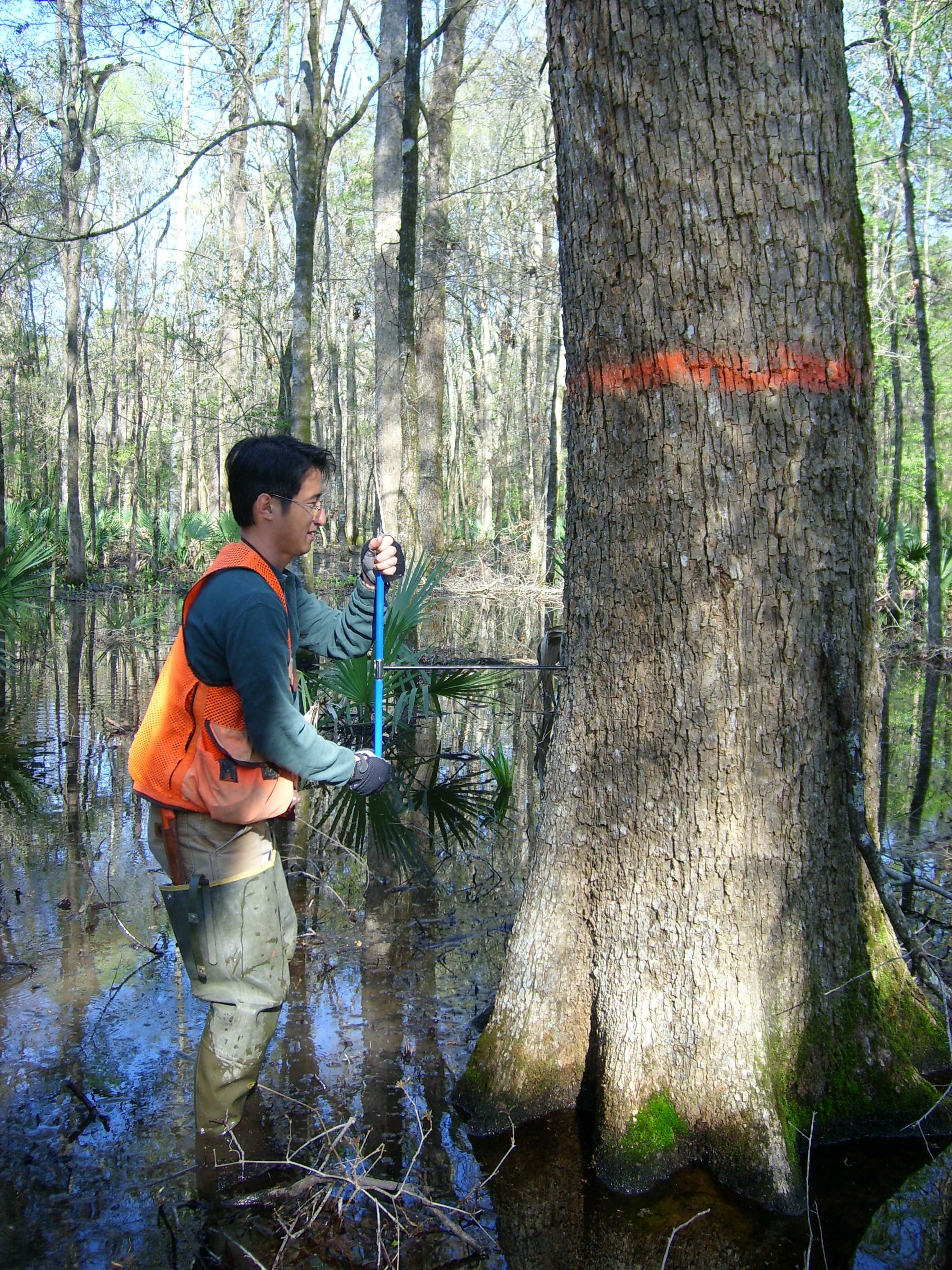 Hugo Gee (Ph.D. student; King) coring a tree at Bayou Cocodrie National Wildlife Refuge.  Tree cores will provide important information about stand development patterns and tree growth.