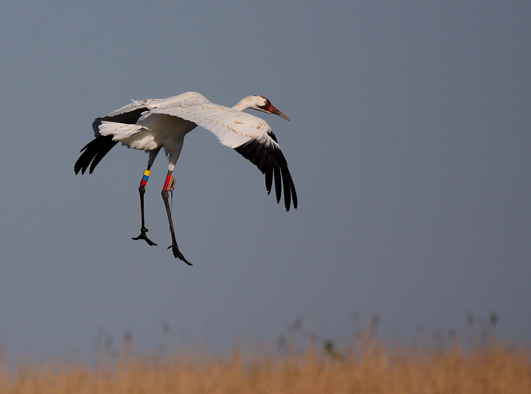 A Whooping Crane flying over the Louisiana marsh.  Photo courtesy of Gopi Sundar, International Crane Foundation.