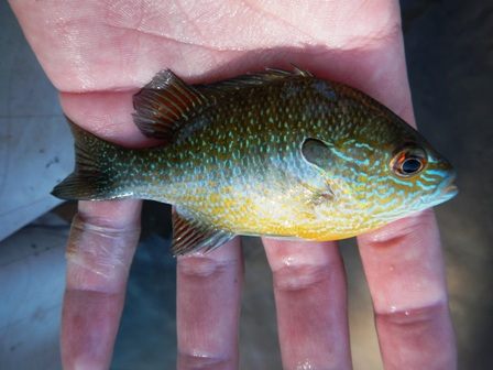 Longear sunfish captured from the South Llano River, Texas.