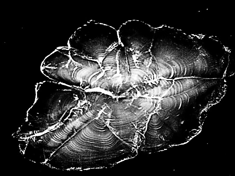 Image of a sectioned sagittal otolith from a Guadalupe Bass <i>Micropterus treculii</i> showing daily growth increments. <br><br>